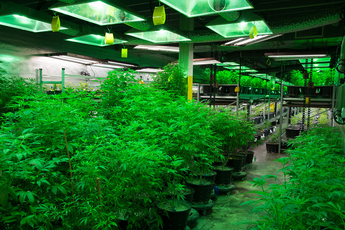 Hemp vs Cannabis